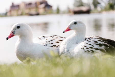 close up view of two andean gooses sitting on grass near water on blurred background