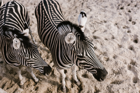 high angle view of two zebras grazing on ground at zoo Фото со стока