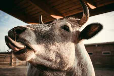 close up shot of cow eating dry grass in corral at zoo Reklamní fotografie - 106598572