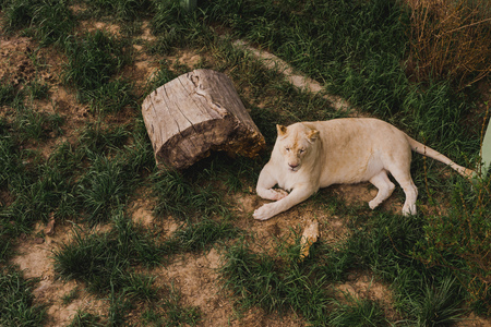 elevated view of lioness laying on grass at zoo
