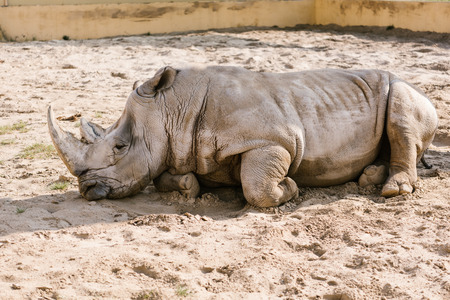 closeup view of white rhino laying on sand at zoo