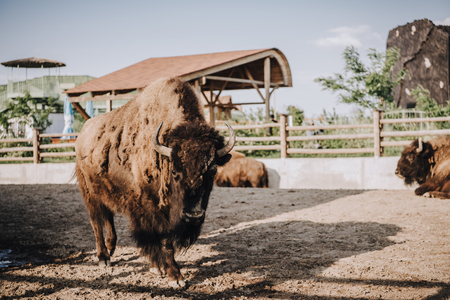 close up view of bisons grazing in corral at zoo