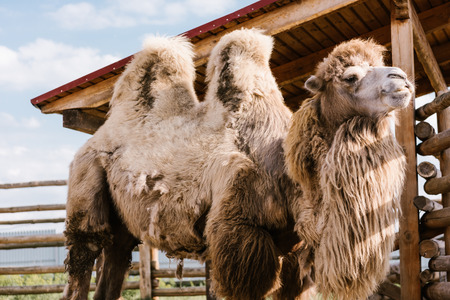closeup view of two humped camel standing in corral at zoo Standard-Bild - 106599213
