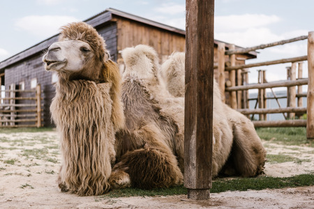 close up view of two humped camel sitting on ground in corral at zoo
