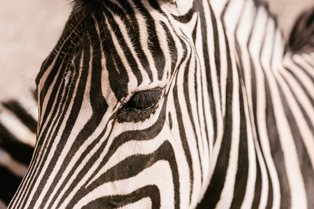 close up shot of zebra muzzle on blurred background at zoo