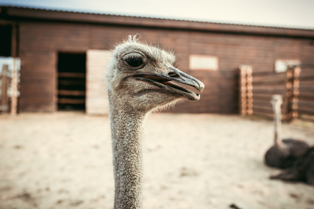 closeup shot of ostrich muzzle on blurred background in corral at zoo