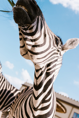 low angle view of zebra muzzle against blue cloudy sky at zoo 版權商用圖片