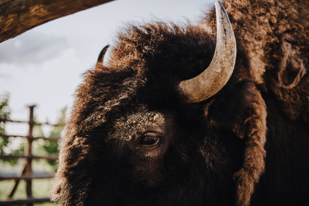 close up view of bison muzzle in corral at zoo