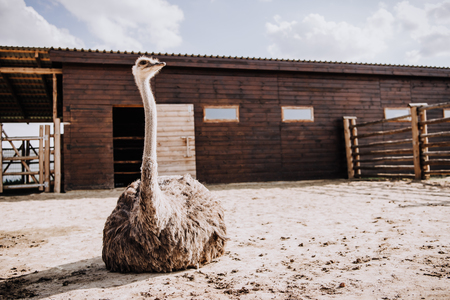 closeup view of ostrich sitting on ground in corral at zoo