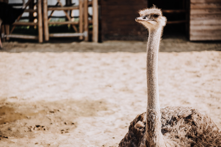 close up shot of ostrich standing in corral under sunlight at zoo Reklamní fotografie