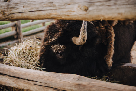 close up image of bison eating dry grass in corral at zoo