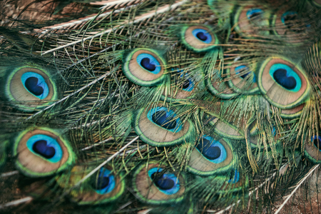 close up view of peacock beautiful colorful feathers
