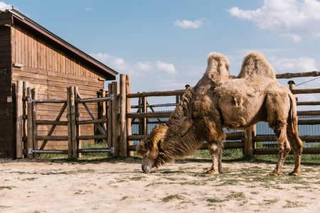 side view of two humped camel eating grass in corral at zoo Standard-Bild - 106598949