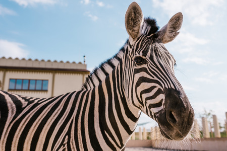 close up view of zebra grazing in corral at zoo