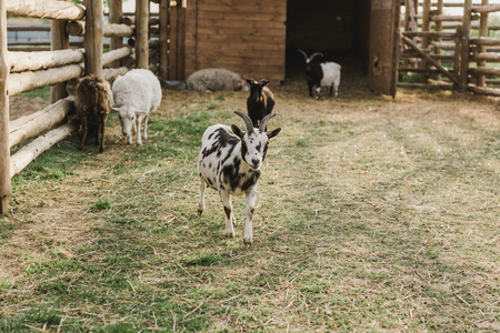 front view of goats and sheeps grazing on ground in corral with wooden fence at farm