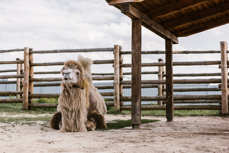front view of two humped camel sitting on ground in front of wooden fence in corral at zoo