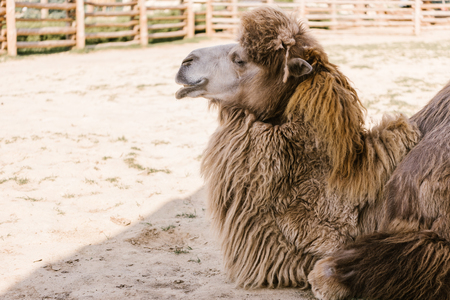 side view of camel sitting on ground in corral at zoo