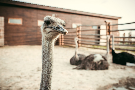 closeup view of ostrich muzzle and other ostriches sitting behind in corral at zoo 写真素材