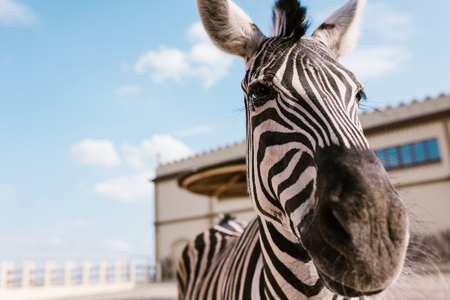 close up view of zebra standing on blurred background at zoo Stock Photo