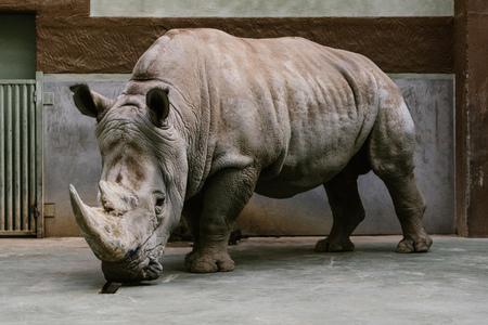 close up shot of endangered white rhino standing at zoo