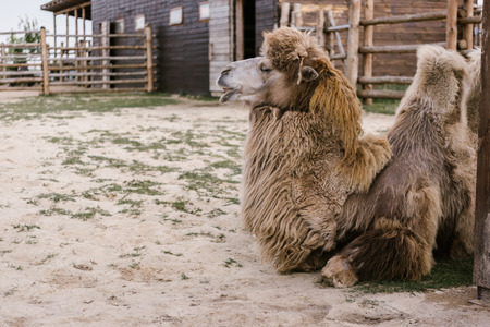 side view of two camel laying on ground in corral at zoo Standard-Bild - 106600147
