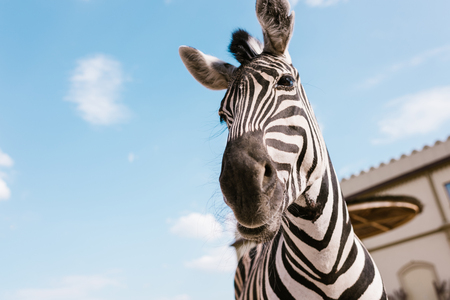 low angle view of zebra muzzle against blue cloudy sky at zoo Banco de Imagens