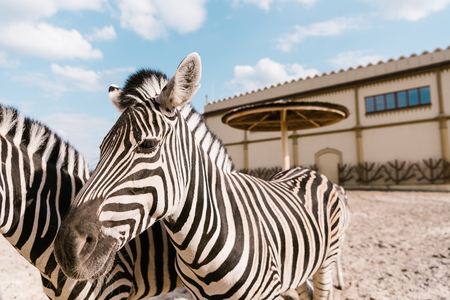close up view of two zebras grazing in corral at zoo Banco de Imagens