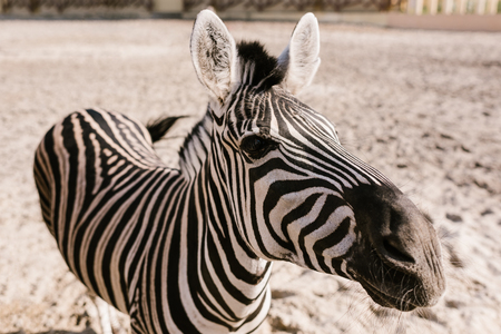 close up shot of zebra grazing on ground in corral at zoo Stock Photo