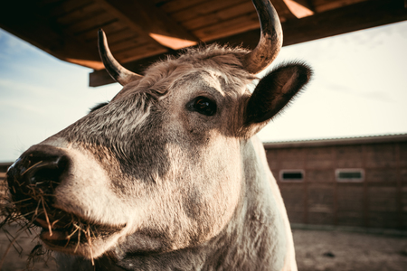 close up view of cow eating dry grass in corral at zoo Reklamní fotografie - 106600267