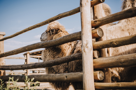 side view of two humped camel standing near wooden fence in corral at zoo