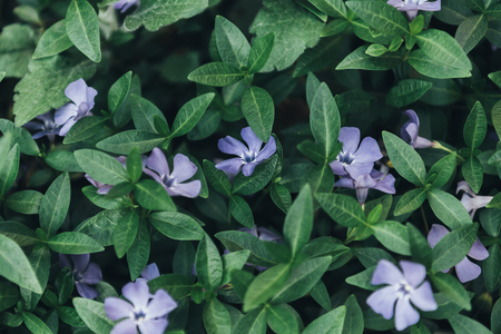 full frame image of periwinkles and green leaves