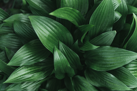 Full frame image of hosta leaves background