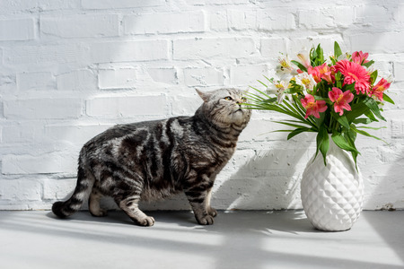adorable scottish straight cat sniffing beautiful bouquet in vase