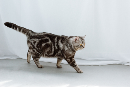adorable scottish straight cat walking on floor in front of white curtains 스톡 콘텐츠