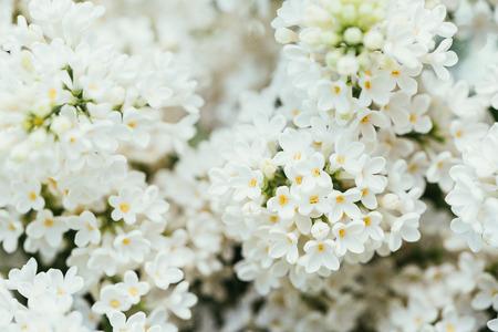 full frame image of white lilac flowers background Stock Photo
