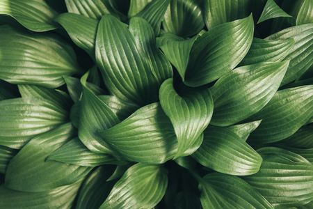 full frame image of hosta leaves background Stock Photo