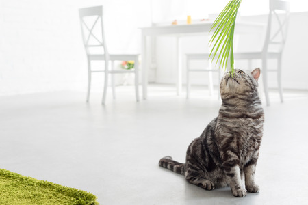 adorable scottish straight cat sniffing palm leaves at home Imagens - 106602091