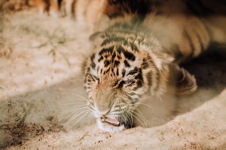 Vista cercana de lindo cachorro de tigre en el zoológico