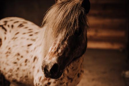Mise au point sélective de beau poney en stalle debout au zoo Banque d'images
