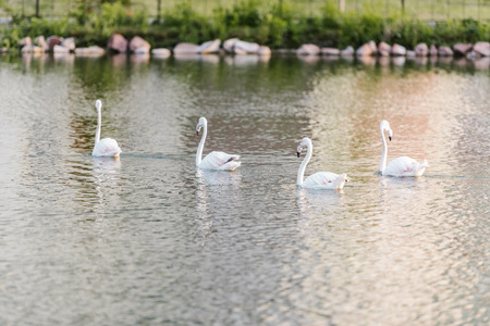 selective focus of white flamingos swimming on pond at zoo