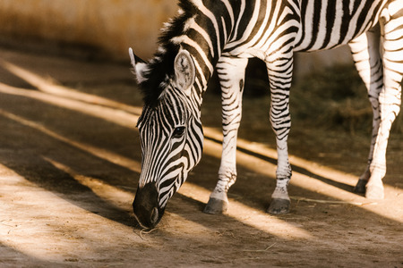 close up view of beautiful striped zebra at zoo
