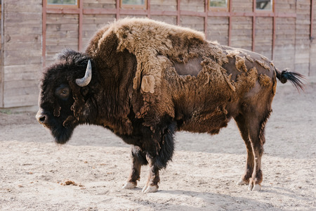 close up view of wild buffalo at zoo