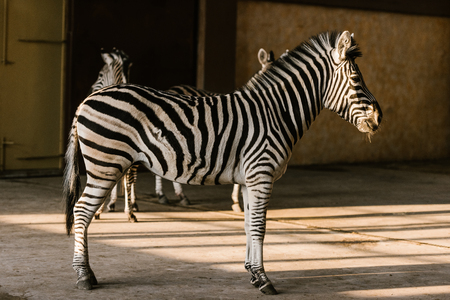 close up view of beautiful striped zebras at zoo Stock fotó