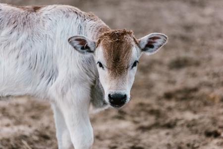 Vue rapprochée de mignon petit taureau au zoo Banque d'images