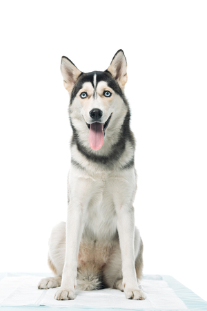 cute husky sitting isolated on white background Stock Photo