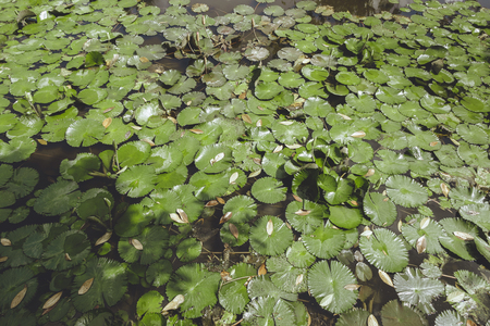 full frame of pond with green water lilies, Bali, Indonesia Stock Photo