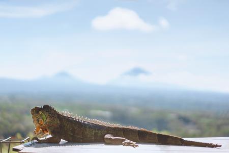 selective focus of sunbathing iguana with blue sky on background, Bali, Indonesia 스톡 콘텐츠