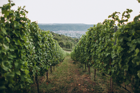 Scenic view of arranged green grapes plantations, stuttgart, germany