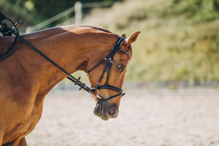 close up view of beautiful brown horse with rig, stuttgart, germany Stock Photo