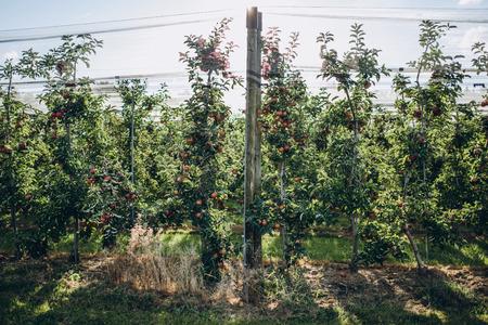 scenic view of arranged apple plantations, stuttgart, germany Stock Photo